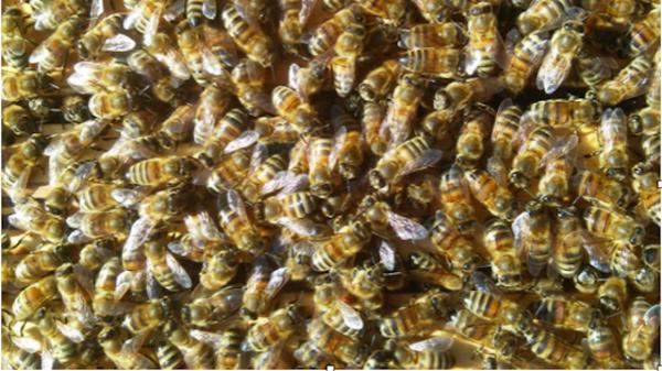 Vorbestellung Buckfastbienenvölker